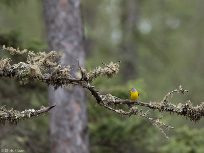 Nashville Warbler male at Saint Louis and Aitkin Counties, MN (05-25-2019)-243-519