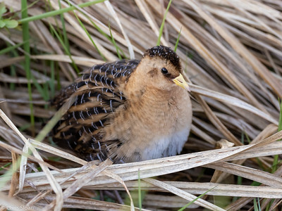 Yellow Rail at Saint Louis and Aitkin Counties, MN (05-25-2019)-245-32