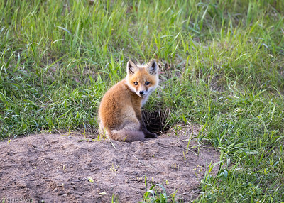 Red Fox kit at Aitkin and Saint Louis Counties, MN (05-25-2019)-246-622