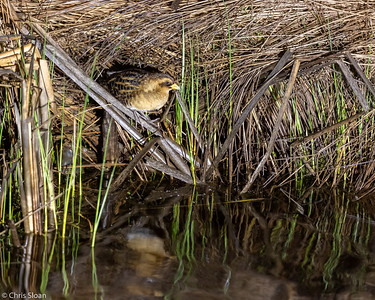 Yellow Rail at McGregor, MN (05-24-2019)-241-32-Edit