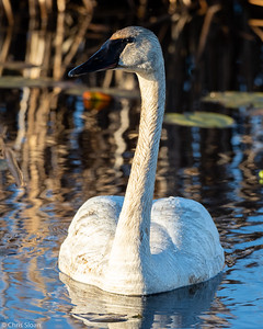 Trumpeter Swan at Saint Louis and Aitkin Counties, MN (05-25-2019)-243-112