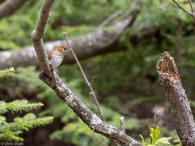 Veery at Saint Louis and Aitkin County, MN (05-25-2019)-252-294
