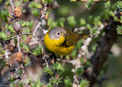 Nashville Warbler female at Sax-Zim Bog, MN (05-26-2019)-247-142