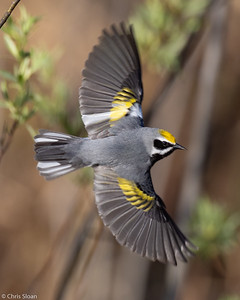 Golden-winged Warbler male at Saint Louis and Aitkin Counties, MN (05-25-2019)-243-481-Edit