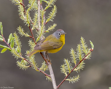 Nashville Warbler male at Saint Louis and Aitkin Counties, MN (05-25-2019)-243-180