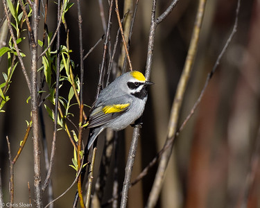 Golden-winged Warbler male at Saint Louis and Aitkin Counties, MN (05-25-2019)-243-424
