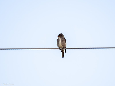 Olive-sided Flycatcher at Aitkin and Saint Louis Counties, MN (05-25-2019)-246-636