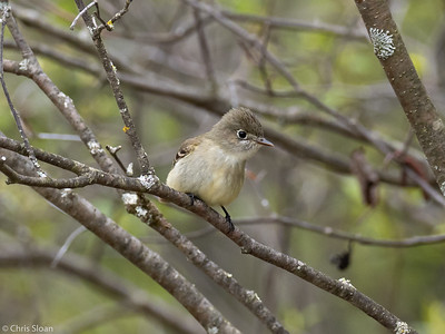 Least Flycatcher at Saint Louis and Aitkin Counties, MN (05-25-2019)-243-527