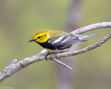 Black-throated Green Warbler male at Aitkin and Saint Louis Counties, MN (05-25-2019)-246-209