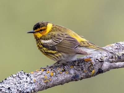 Cape May Warbler male at Saint Louis and Aitkin Counties, MN (05-25-2019)-244-441