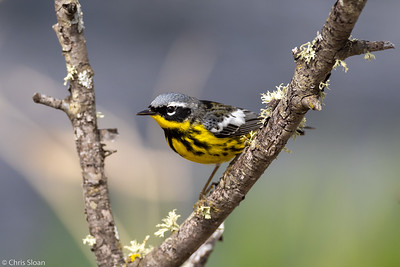 Magnolia Warbler male at Aitkin and Saint Louis Counties, MN (05-25-2019)-246-60