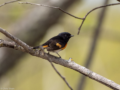 American Redstart male at Saint Louis and Aitkin Counties, MN (05-25-2019)-244-265-Edit