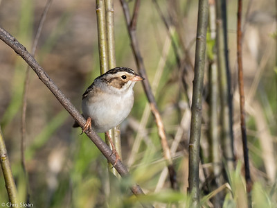 Clay-colored Sparrow at Saint Louis and Aitkin County, MN (05-25-2019)-252-683