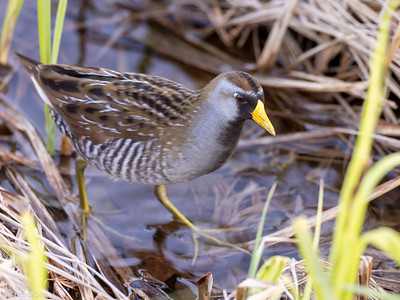 Sora at Aitkin and Saint Louis Counties, MN (05-25-2019)-246-578