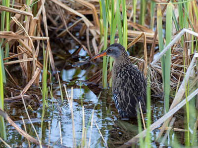 Virginia Rail at Aitkin and Saint Louis Counties, MN (05-25-2019)-246-608