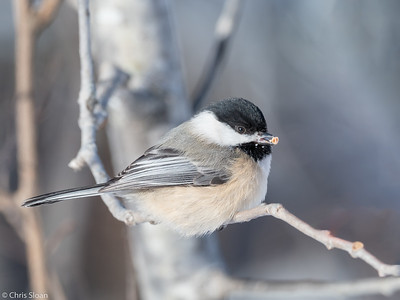 Black-capped Chickadee at Sax-Zim Bog, Minnesota (02-08-2019)-218-32-Edit