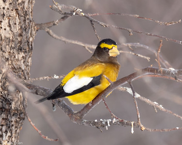 Evening Grosbeak at Sax-Zim Bog, Minnesota (02-09-2019)-221-33