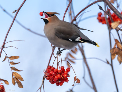Bohemian Waxwing at Ely, Minnesota (02-08-2019)-219-86