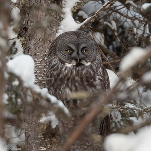 Great Gray Owl at Sax-Zim Bog, Minnesota (02-08-2019)-220-57