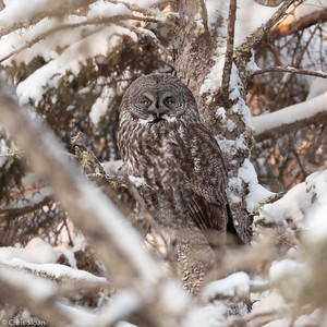 Great Gray Owl at Sax-Zim Bog, Minnesota (02-08-2019)-220-74