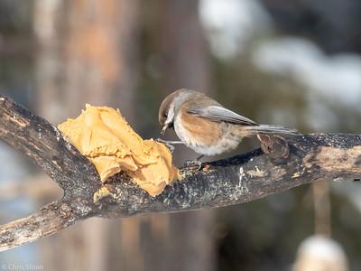 Boreal Chickadee at Sax-Zim Bog, Minnesota (02-09-2019)-221-187