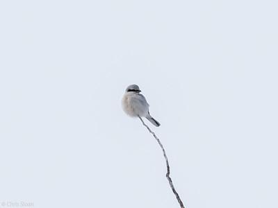 Northern Shrike at Sax-Zim Bog, Minnesota (02-09-2019)-221-299
