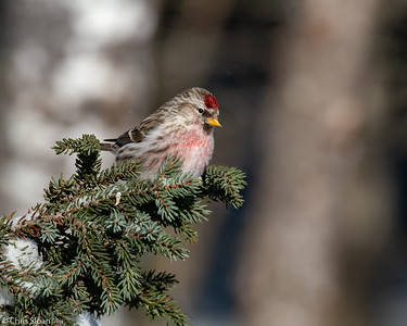 Common Redpoll at Sax-Zim Bog, Minnesota (02-08-2019)-218-117