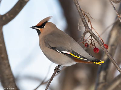 Bohemian Waxwing at Ely, Minnesota (02-08-2019)-219-64
