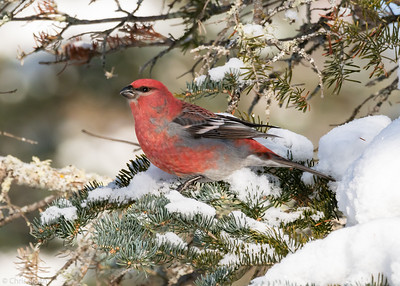 Pine Grosbeak male at Sax-Zim Bog, Minnesota (02-08-2019)-218-163