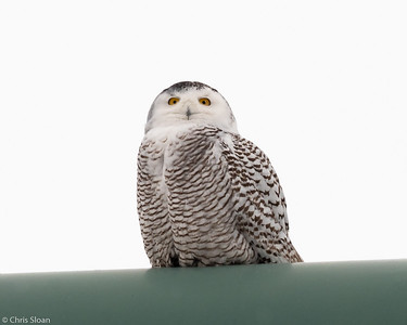 Snowy Owl at Superior, Wisconsin (02-09-2019)-222-52