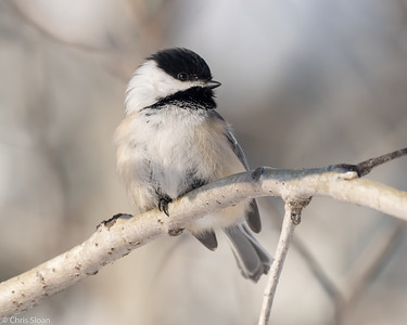 Black-capped Chickadee at Sax-Zim Bog, Minnesota (02-08-2019)-218-155