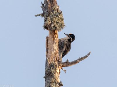 Black-backed Woodpecker at Sax-Zim Bog, Minnesota (02-09-2019)-221-24