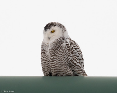 Snowy Owl at Superior, Wisconsin (02-09-2019)-222-29