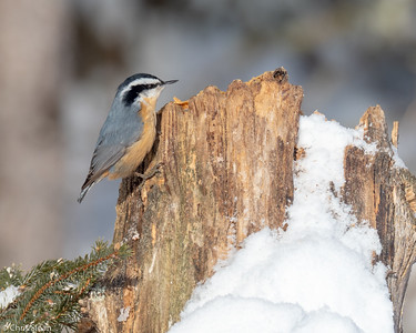 Red-breasted Nuthatch at Sax-Zim Bog, Minnesota (02-09-2019)-221-155