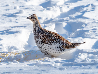 Sharp-tailed Grouse at Sax-Zim Bog, Minnesota (02-08-2019)-218-17