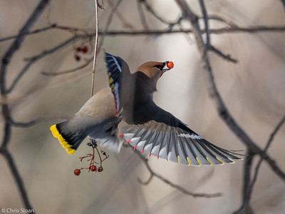 Bohemian Waxwing at Ely, Minnesota (02-08-2019)-219-73