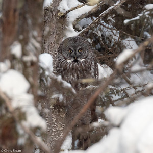 Great Gray Owl at Sax-Zim Bog, Minnesota (02-08-2019)-220-4