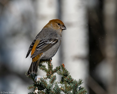 Pine Grosbeak female at Sax-Zim Bog, Minnesota (02-08-2019)-218-106