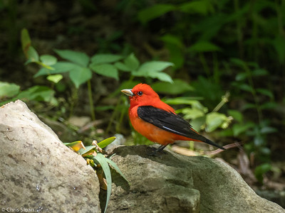Scarlet Tanager male at 2036 Priest Road, Nashville, Davidson County, TN (05-11-2020)-340-15-Edit