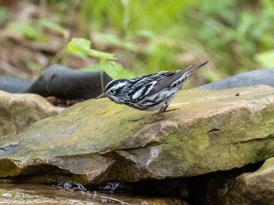 Black-and-white Warbler male at 2036 Priest Road, Nashville, Davidson County, TN (04-26-2020)-334-10-Edit