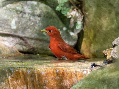 Summer Tanager male at 2036 Priest Road, Nashville, Davidson County, TN (04-24-2020)-332-13