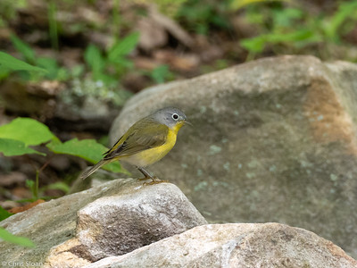 Nashville Warbler at 2036 Priest Road, Nashville, Davidson County, TN (05-05-2020)-336-22-Edit