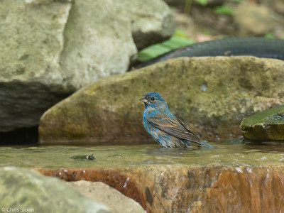 Indigo Bunting at 2036 Priest Road, Nashville, Davidson County, TN (05-07-2020)-339-6