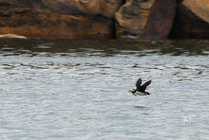 Atlantic Puffin in flight with his catch.