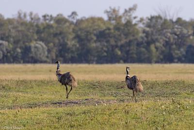 Emu near Goondiwindi, Queensland, Australia (11-24-2018)-210-58