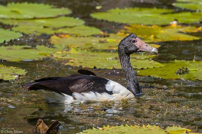Magpie Goose at Centenary Lakes, Queensland, Australia (11-14-2018)-180-28