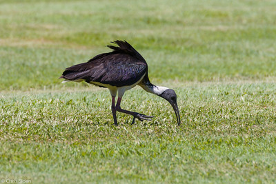 Straw-necked Ibis at Cairns Cemetary, Queensland, Australia (11-14-2018)-179-8