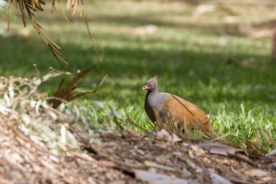 Orange-footed Scrubfowl at Centenary Lakes, Queensland, Australia (11-14-2018)-180-156