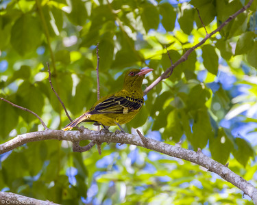 Green Oriole at Centenary Lakes, Queensland, Australia (11-14-2018)-180-158