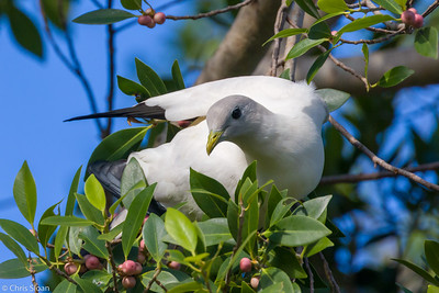 Torresian Imperial Pigeon at Cairns Esplanade, Queensland, Australia (11-14-2018)-183-3